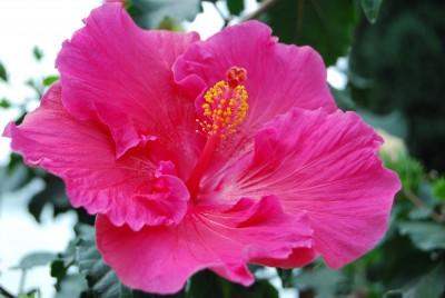 8月の花 ハイビスカス
